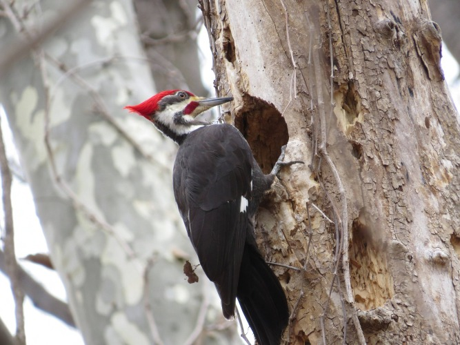 Pileated Woodpecker-Pixabay 807556_1920